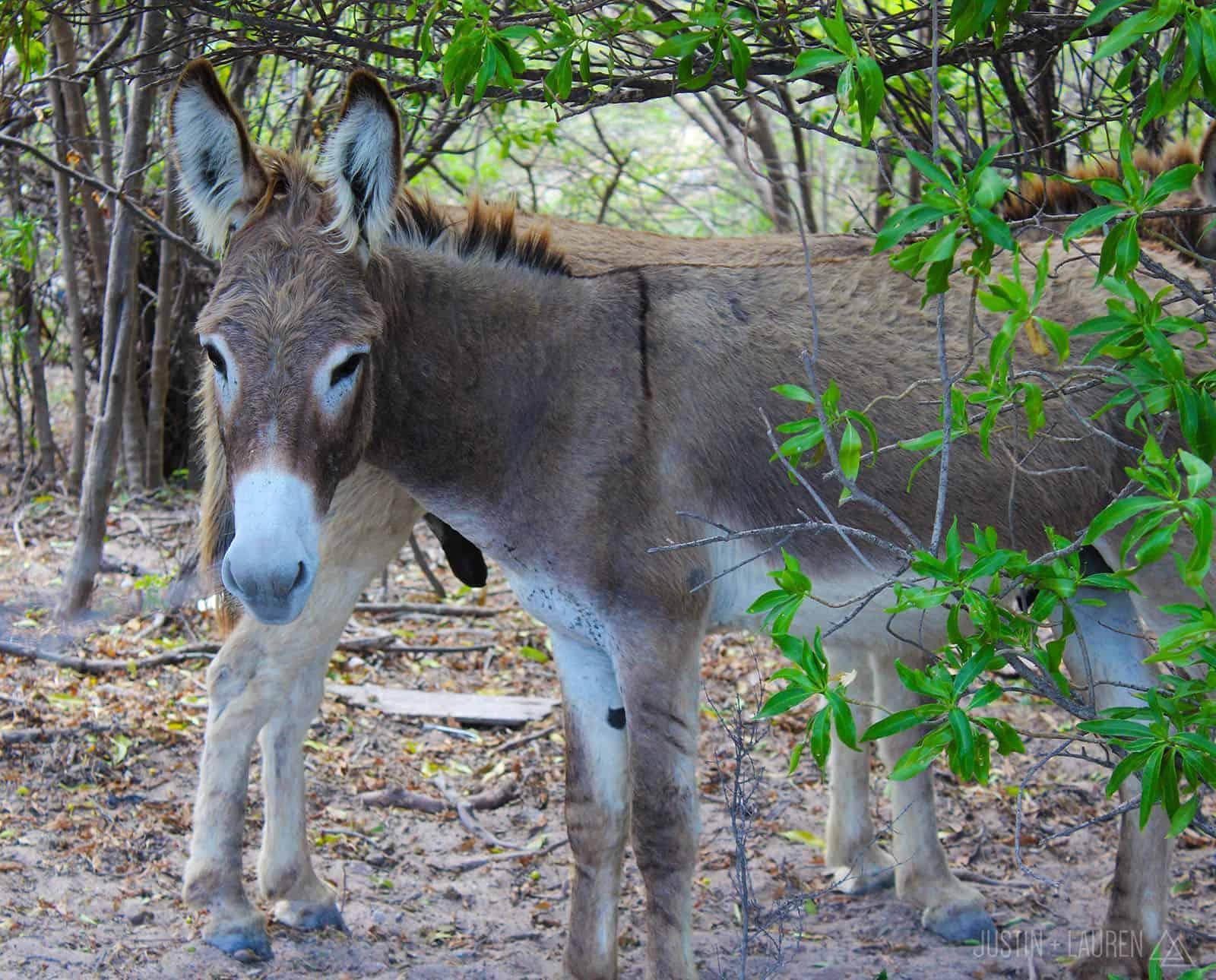 Donkeys in Grand Turk