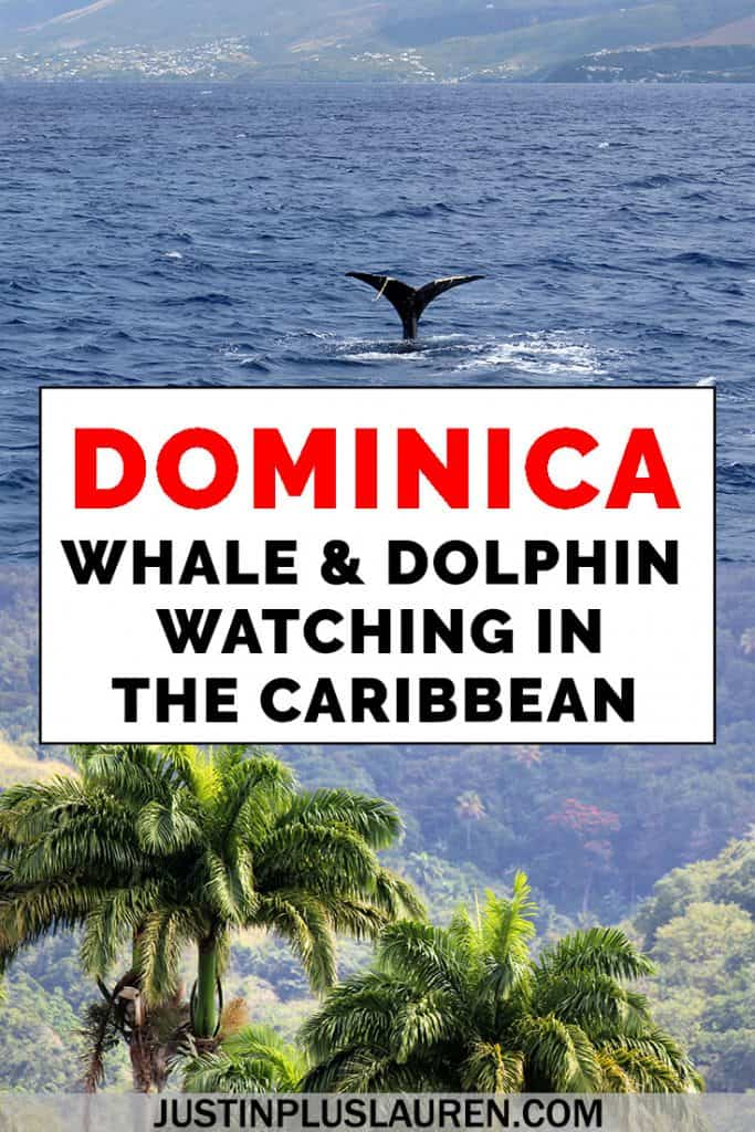 Have you ever gone whale watching? Seeing whales and dolphins in the wild is a magical experience. You can go whale watching in Dominica for some of the best wildlife viewing opportunities in the Caribbean. Here's why you should go whale watching in Dominica. #Dominica #Caribbean #NatureIsland #WhaleWatching #Dolphins