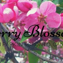 High Park Cherry Blossoms Toronto