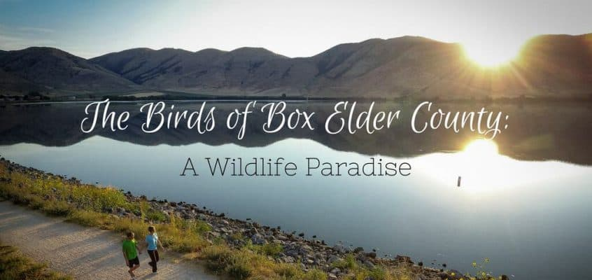 Birds of Box Elder County – A Wildlife Paradise