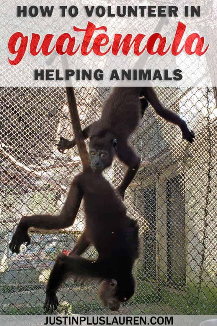 How to volunteer in Guatemala helping animals at a wildlife rescue center - Flores, Guatemala #Guatemala #Volunteer #Voluntourism #ResponsibleTravel #WildlifeTourism #Conservation #Travel