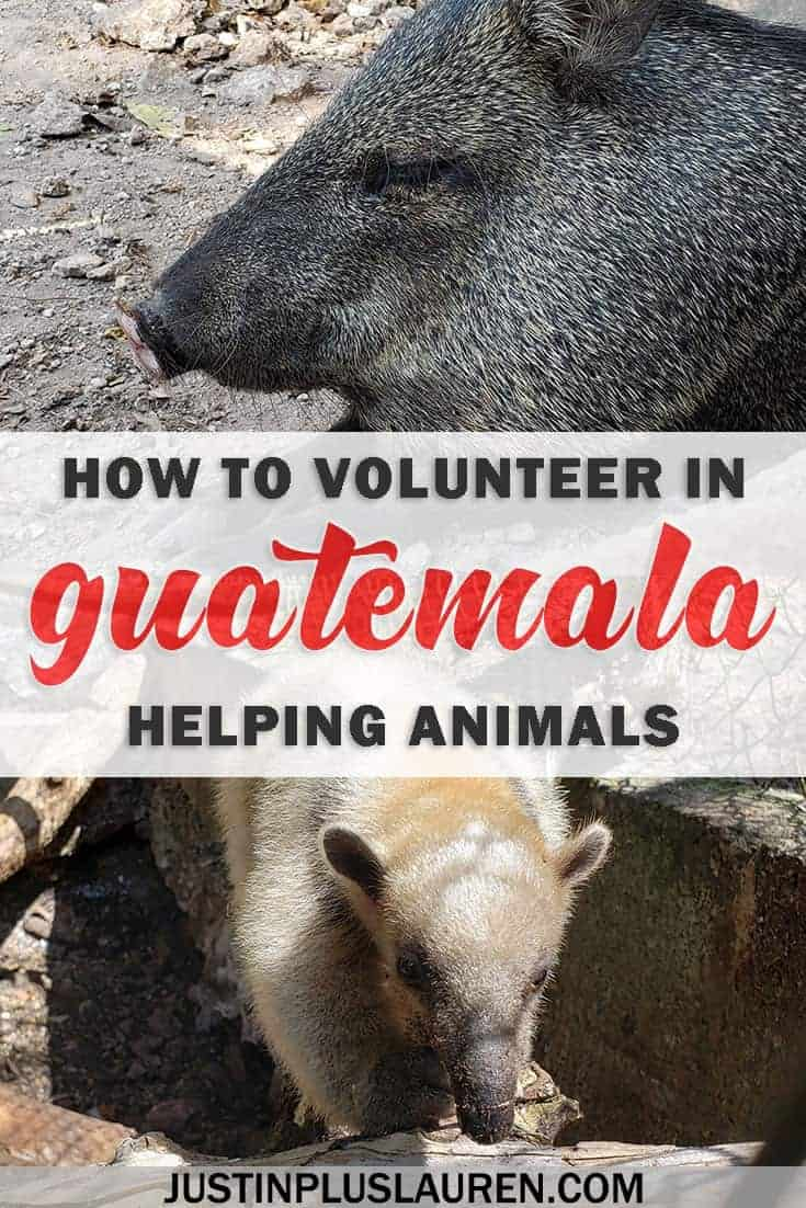 How to volunteer in Guatemala helping animals at a wildlife rescue center - Flores, Guatemala #Guatemala #Volunteer #Voluntourism #ResponsibleTravel #WildlifeTourism #Conservation #Travel