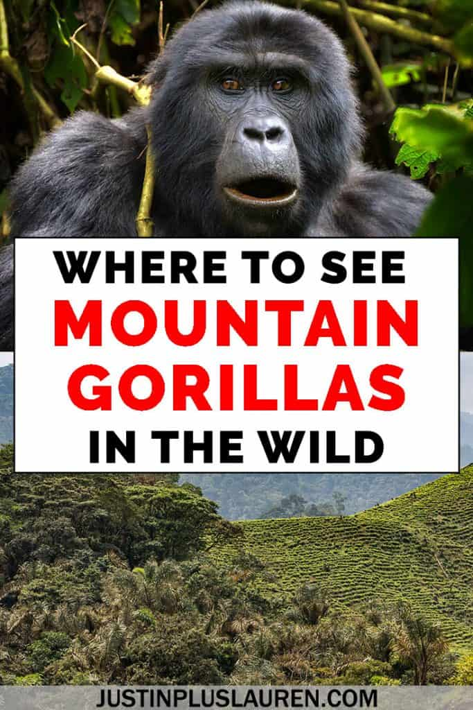 How to See Mountain Gorillas in the Wild: Tips for Taking a Gorilla Safari in Africa