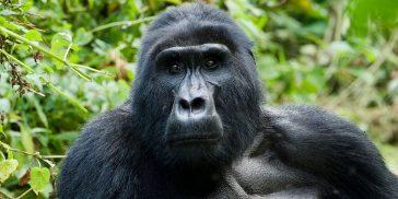 Gorillas in the wild in Africa